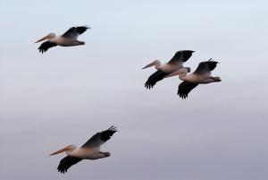 pelicans-flying